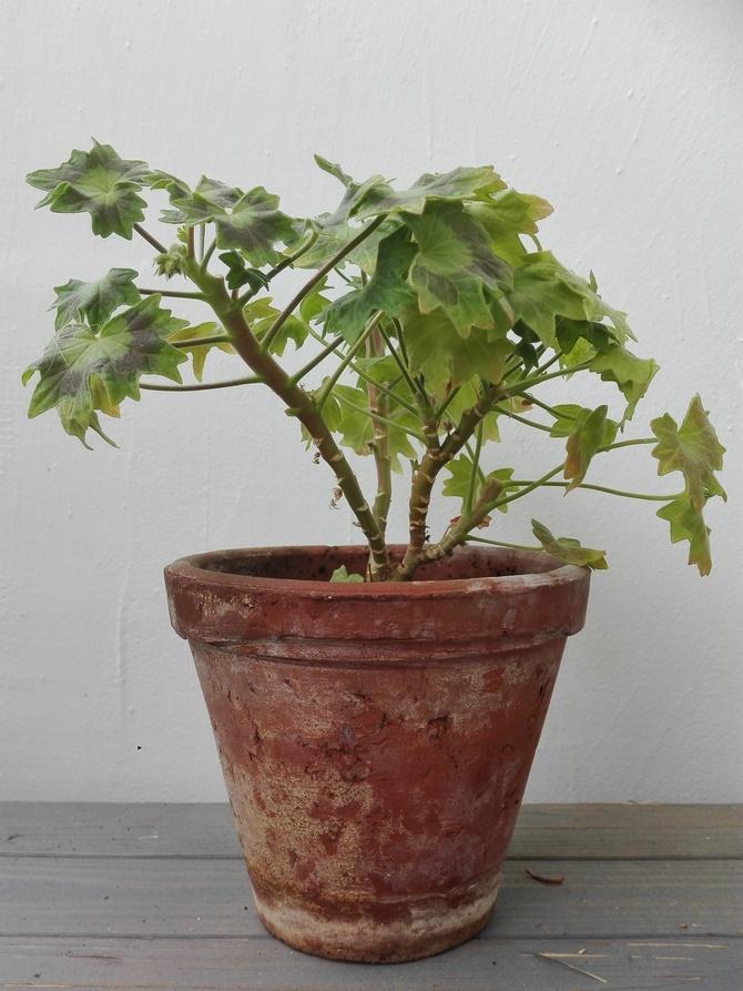 Pelargonia kaktusowa