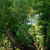 Bardzo krzywe drzewo spotkałem w parku.