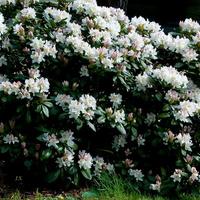 Biały rododendron