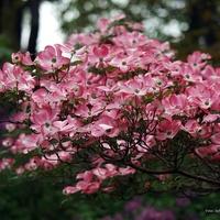 'Cornus florida rubra'...