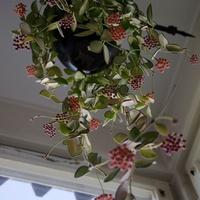 Hoya aff. burtoniae