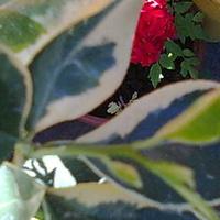 Kalamondyna variegata