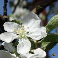 Kwiaty jabłoni - papierówki