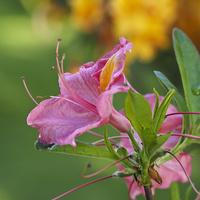 ostatnie kwiatki azalii