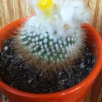 pierwsze kwitnienie kaktusika w tym roku