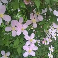 Powojnikowe kwiatuszki