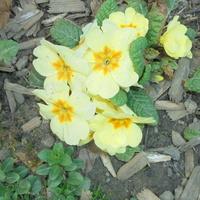 Prymulka w żółtym kolorze
