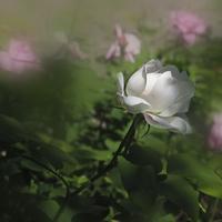 Róża.......biała