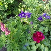 Łubin,orlik i piwonia-to już bukiet w ogrodzie