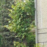 Winogrono-wspina się pobalkonach i drabince.