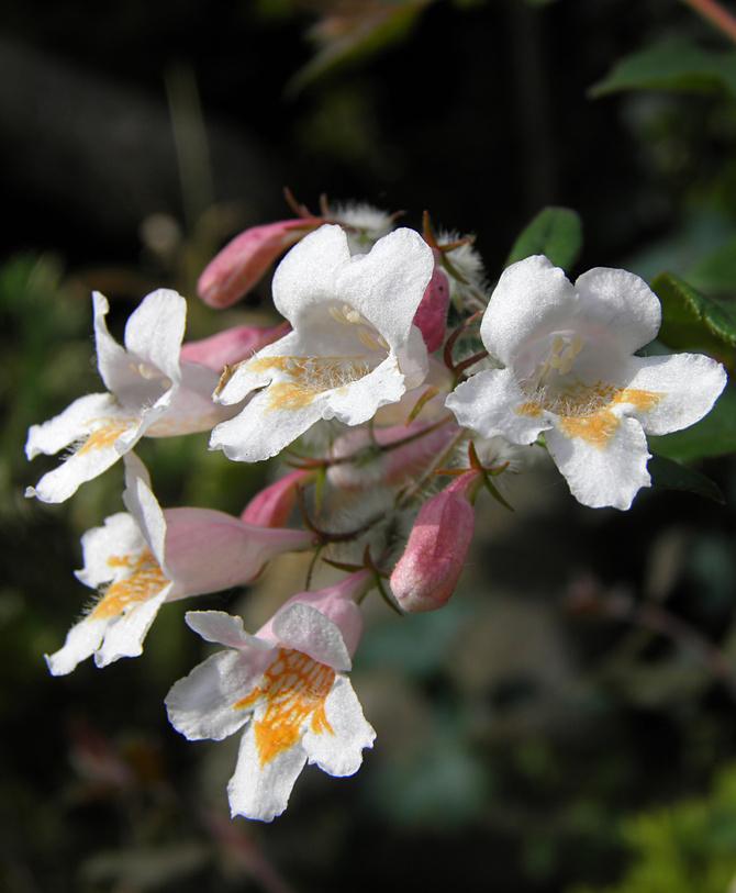 kolkwicja w pełni kwitnienia