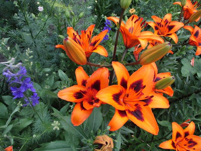 Lilie kwitną