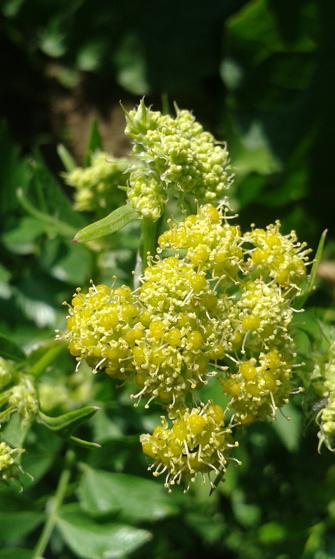O zielonożółtych kwiatach