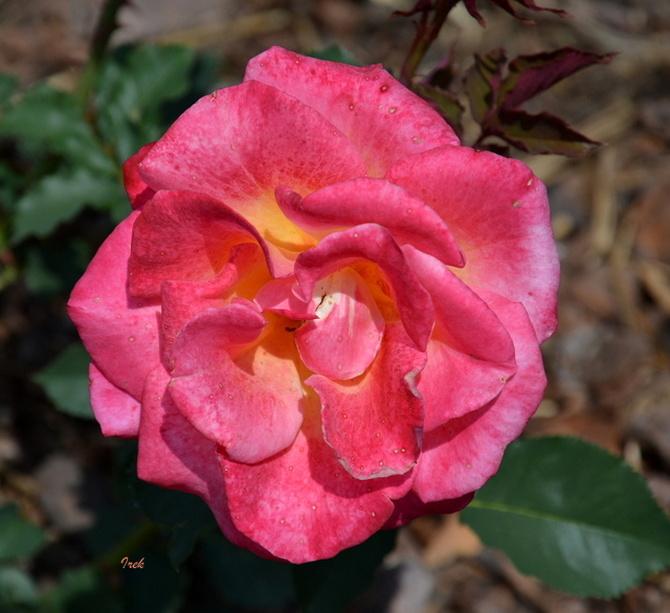 Róża piegowata