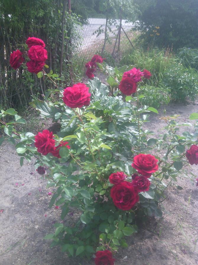 Róża  Róże Rosse