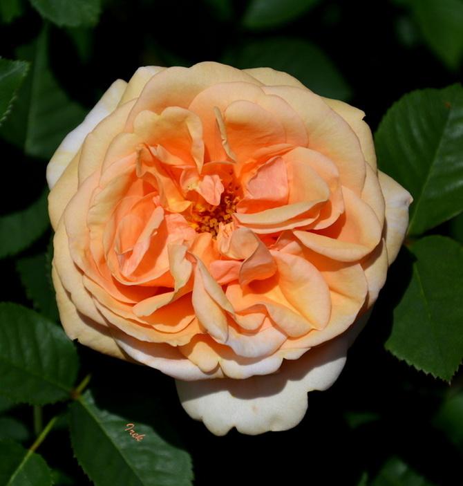 Róża w ogrodzie botanicznym.