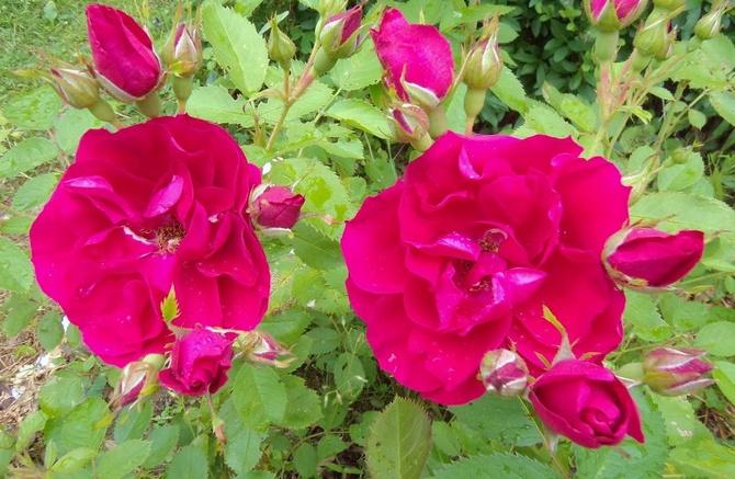 Róże w moim ogrodzie .