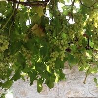Bułgarskie winogrono