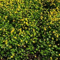 Łączka z żółtymi kwiatkami