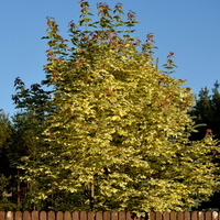 Drzewko czerwcowe zza płotu