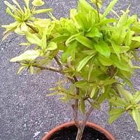 Granat Karłowy (Punica Granatum nana)