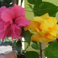 Hibiskusy o pełnych kwiatach