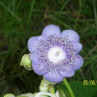hortensja dainanthe carulea \