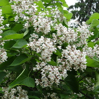 Katalpa piękne, pachnace drzewa