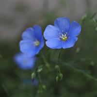 Kwiatki lnu