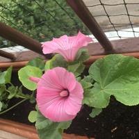 Lavatera różowa