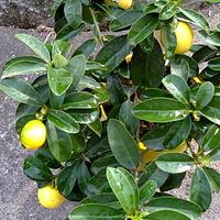 Limonella drzewko