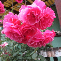 Moje róże przy tarasie