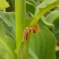 Nie samym nektarem motyl żyje!