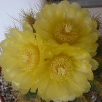 Notocactus już z kwiatkami :)