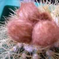 Notocactus - pączki kwiatowe, będą kwiaty :)