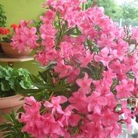 Oleander o ciemno różowych kwiatach