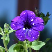 Petunia w ciemnym kolorze