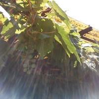 Pierwsze winogrono