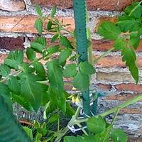 Pomidor karłowy MASKOTKA kwitnie