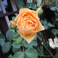 Róża -mój ulubiony kolor