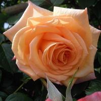 róża.......