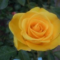 róża...........