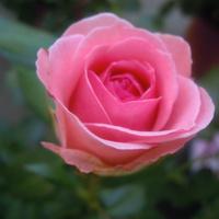...róża....