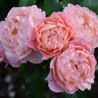 Róże na dobranoc.