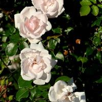 Róże w parku