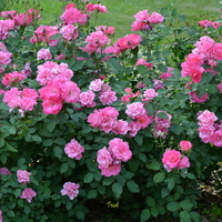 Róże w parku.