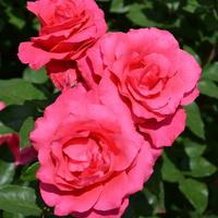 róże.......