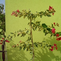 Variegata o ciemno różowych kwiatach