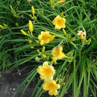 W moim ogrodzie czas na liliowce
