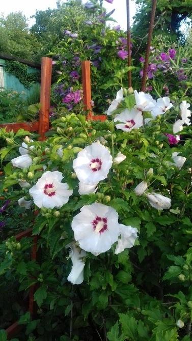 biały hibiskus z towarzystwem
